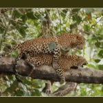 مادیا پرادش: فیلم نادر جفت گیری پلنگ ها روی درخت ویروسی می شود |  اخبار